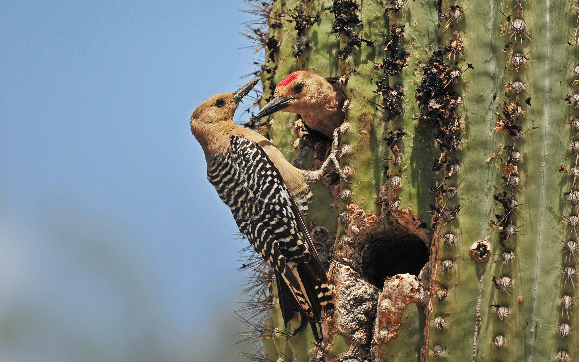 the features of the gila woodpecker The gila woodpecker is an uncommon to fairly common resident in southern california along the colorado river, and locally near brawley, imperial county (garrett and dunn 1981).
